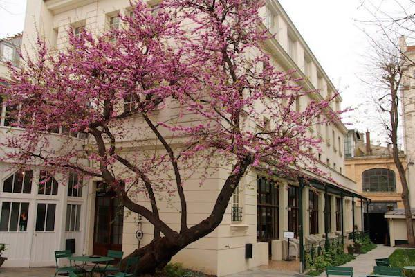 The Judas Tree in the courtyard